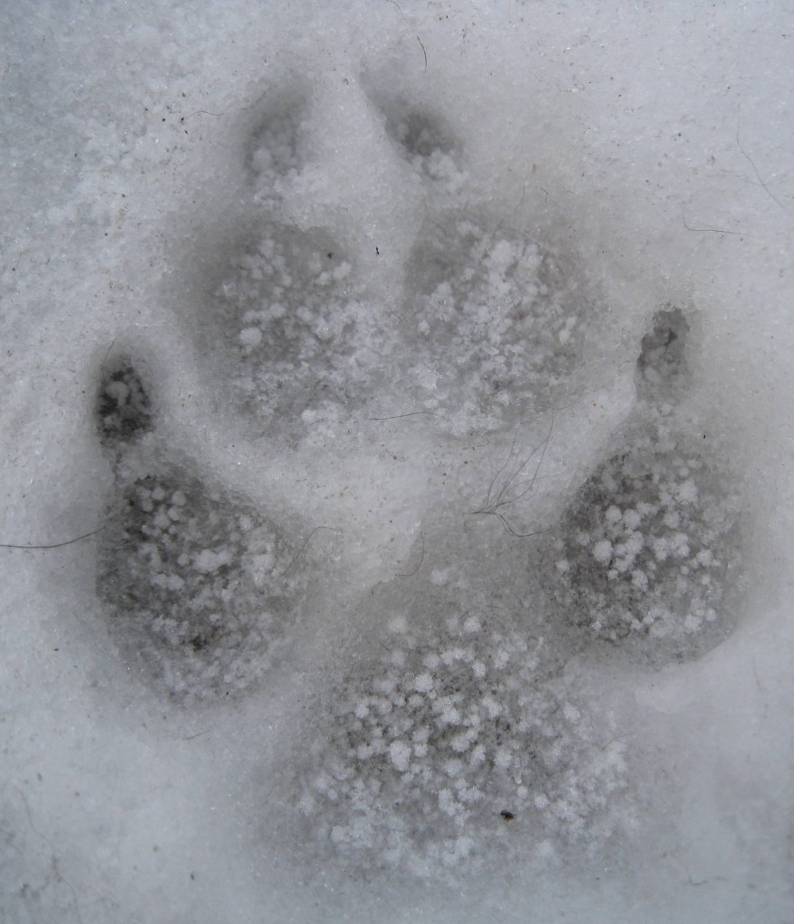 ginko paw print in snow 2-10-14 b